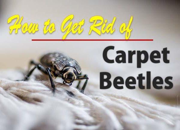get rid of carpet beetles