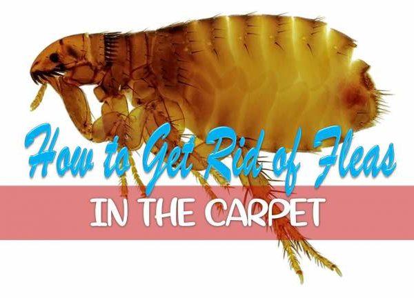 get rid of fleas in the carpet